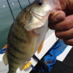 Lake Erie Michigan perch fishing charter trips